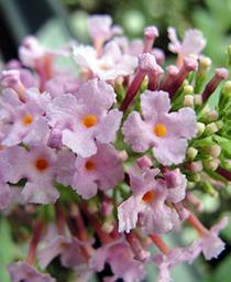 Butterfly Bush Pink Delight   - Buddleia davidii -  lg pot